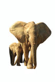 Jumbo bull and baby african elephants isolated. On white Royalty Free Stock Image