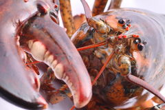 Jumbo Live American Lobster close up on the head Stock Photo