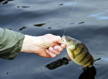 Jumbo perch Royalty Free Stock Image