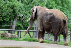 Jumbo Sized Elephant. A huge African native elephant at Grant's Farm roaming his stomping grounds before his next performance Royalty Free Stock Photography