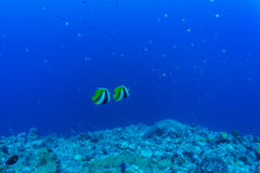 Jumeaux Butterflyfish Photos stock