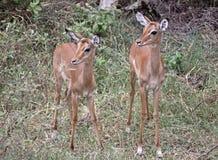 Jumeaux d'Impala Photos stock