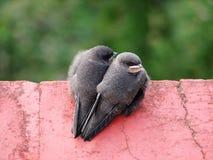 Jumeaux d'oiseau Images libres de droits