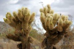 Jumeaux de cactus Images stock