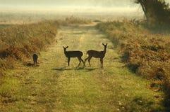 Jumeaux de cerfs communs Images libres de droits