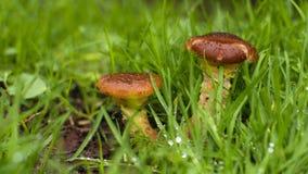 Jumeaux de champignon dans l'herbe de matin Images stock