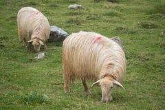 Jumeaux de moutons Image stock