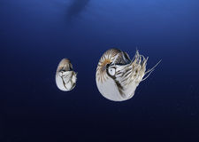 Jumeaux de Nautilus Photo stock