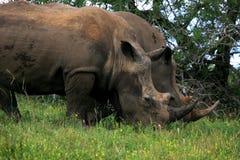 Jumeaux de rhinocéros Photo libre de droits