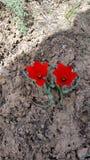 Jumeaux de tulipe photos libres de droits