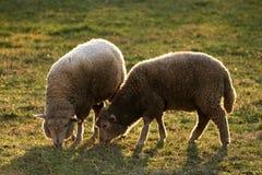 Jumeaux - moutons Photographie stock libre de droits
