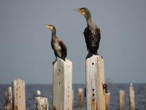 Jumelle des cormorans Image libre de droits