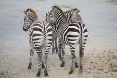 Jument avec le zèbre de Grevy de bébé, grevyi d'Equus, Photo stock
