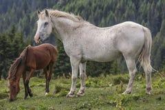 Jument blanche rouane avec son poulain Image libre de droits