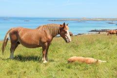 Jument bretonne de trait et son poulain dans un domaine en Bretagne Photographie stock libre de droits