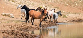 Jument brune grisâtre de peau de daim avec le troupeau de chevaux sauvages au point d'eau dans la chaîne de cheval sauvage de mon Image libre de droits