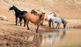 Jument brune grisâtre de peau de daim avec le troupeau de chevaux sauvages au point d'eau dans la chaîne de cheval sauvage de mon Images libres de droits
