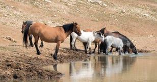 Jument brune grisâtre de peau de daim avec le troupeau de chevaux sauvages au point d'eau dans la chaîne de cheval sauvage de mon Photographie stock