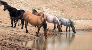 Jument brune grisâtre de peau de daim buvant au point d'eau avec le troupeau de chevaux sauvages dans la chaîne de cheval sauvage Image stock