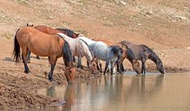Jument brune grisâtre de peau de daim buvant au point d'eau avec le troupeau de chevaux sauvages dans la chaîne de cheval sauvage Photographie stock