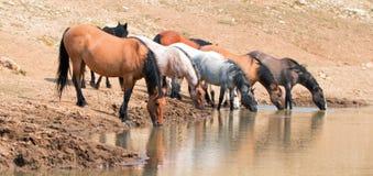 Jument brune grisâtre de peau de daim buvant au point d'eau avec le troupeau de chevaux sauvages dans la chaîne de cheval sauvage Photos stock