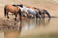 Jument brune grisâtre de peau de daim buvant au point d'eau avec le troupeau de chevaux sauvages dans la chaîne de cheval sauvage Images libres de droits