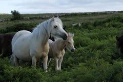 Jument de palomino de Dartmoor Photographie stock libre de droits