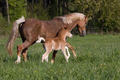 Jument de poney avec le petit poulain Photo stock