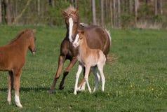 Jument de poney avec le petit poulain Photographie stock libre de droits