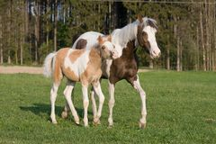 Jument de poney avec le petit poulain Photo stock