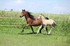 Jument de poney de montagne de Gallois avec le fonctionnement de poulain Images libres de droits