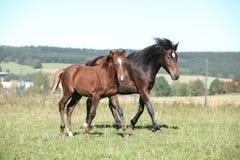 Jument de poney tchèque de sport avec son poulain Image libre de droits