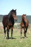 Jument de poney tchèque de sport avec son poulain Images stock