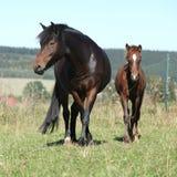 Jument de poney tchèque de sport avec son poulain Photos libres de droits