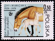 Jument de Przewalski et poulain, zoo de Varsovie, vers 1978 Photos stock
