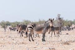 Jument enceinte de Hartmann Mountain Zebra Photo stock