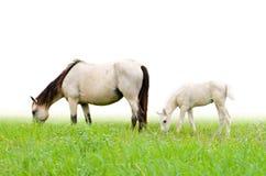 Jument et poulain de cheval dans l'herbe sur le fond blanc Photo libre de droits