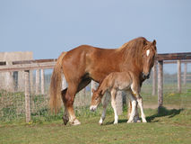 Jument et poulain de cheval du Suffolk Image stock