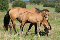 Jument et poulain de cheval quart Photo stock