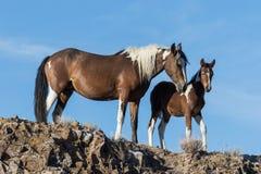 Jument et poulain de cheval sauvage Image libre de droits