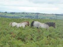 Jument et poulain sauvages sur Hergest Ridge, Kington, Herefordshire photographie stock libre de droits