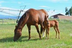 Jument et pouliche quartes de cheval Images stock