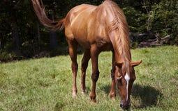 Jument horizontale de cheval d'image de couleur frôlant dans un pré vert Images stock