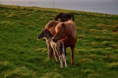 Jument islandaise avec son poulain pendant la nuit d'été islandaise images stock