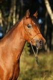 Jument magnifique de poney avec le licou intéressant d'exposition Photo stock