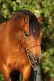 Jument magnifique de poney avec le licou intéressant d'exposition Photo libre de droits