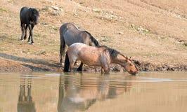 Jument rouane rouge se reflétant dans l'eau tout en buvant dans la chaîne de cheval sauvage de montagnes de Pryor au Montana Etat Image libre de droits