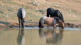 Jument rouane rouge se reflétant dans l'eau tout en buvant dans la chaîne de cheval sauvage de montagnes de Pryor au Montana Etat Photographie stock