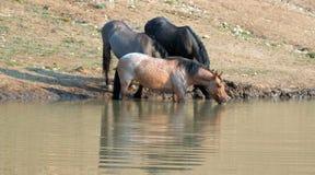 Jument rouane rouge se reflétant dans l'eau tout en buvant dans la chaîne de cheval sauvage de montagnes de Pryor au Montana Etat Photographie stock libre de droits