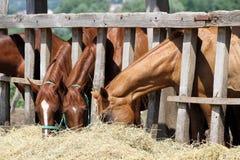 Juments et poulains de châtaigne mangeant le foin sur le ranch Image libre de droits